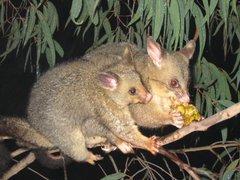 240px-Brushtail_possum