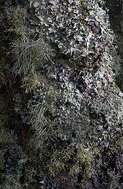 180px-Lichen-covered_tree,_Tresco