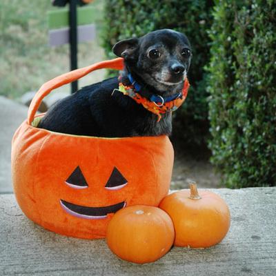 Chico_in_the_pumpkin_2